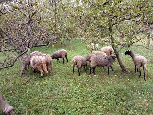 Ovce romanovske