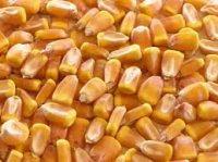 prodajem kukuruz