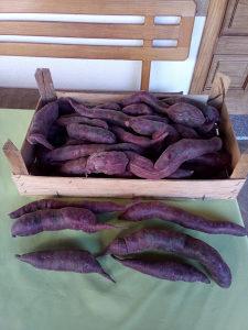 Krompir batat ljubičasti