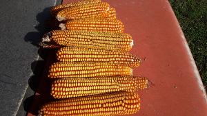 Kukuruz za stocnu ishranu