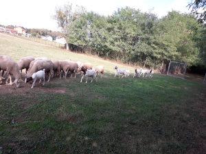Burske koze