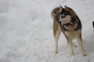 Sibirski haski [PRODAJA]