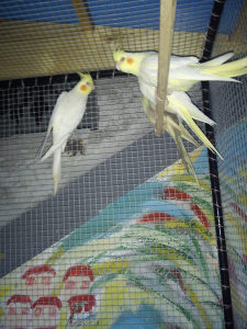 Nimfe papagaji