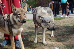 Čehoslovački vučij pas