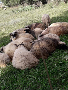 Prodajem ovce pramenke extra