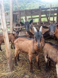 Alpske koze