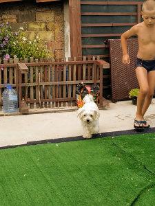 Prodajem čistokrvnog psa maltezer
