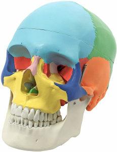 Kostur glava, model lobanja - anatomija