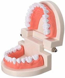 Stomatoloska vilica model zubi/zubalo