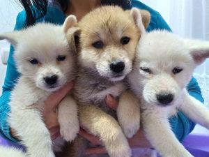 Japanska Akita Inu štenci
