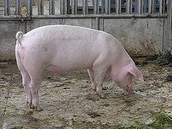 Prodajem svinje(tovljenike)