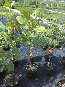 Magnolia grandiflora - Magnolija
