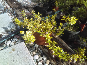 Euonymus 'Emerald 'n' Gold' - Ukrasna kurika