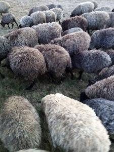 Čistokrvni romanovske mlade sjajne ovce.