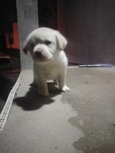 Labrador štenad dostava u BiH i EU 00387644095933