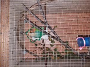 Papagaji rozenkolisi