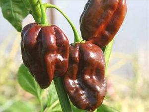 Sjeme ljute paprike habanero boja čokolade stara sorta