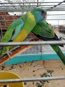 Papagaj Bernard Papagaji Papige