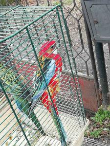 Papagaj Rozela Papagaji Papige