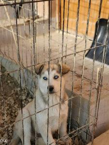 Prodajem Haski štene radi odlaska u inostranstvo
