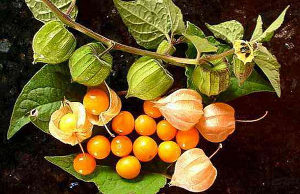 Peruanska jagoda fizalis žuta