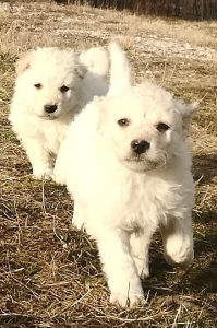 Pulin, pulini - Štenad, štene, štenci ovčarskog Pulina