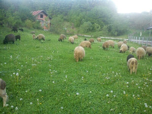Dvije ovce pramenke i 3 ženskih jagnjadi