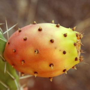 Sjeme sjemena Opuntia ficus biljka kaktus južno voće
