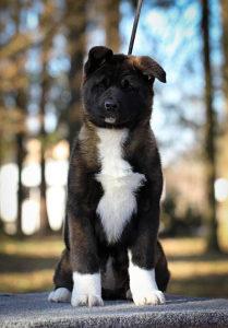 Američka Akita štenci na prodaju