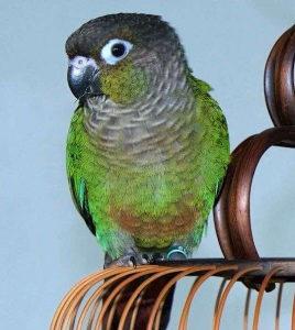 Papagaj Braunouhe konure