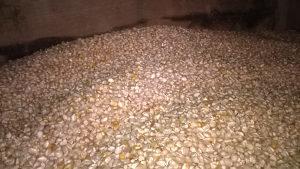 Kukuruz  žuti i kukuruzno brašno  žuto