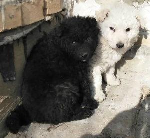 Potražujem muško štene bijelog pulina
