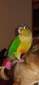 Papagaj Hipoxanta