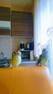 Pjevajuci Papagaji (Psephotus haematonotus) + Kavez