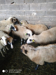 Kurbane ovce ,Ovnove, Kurbane. Akike